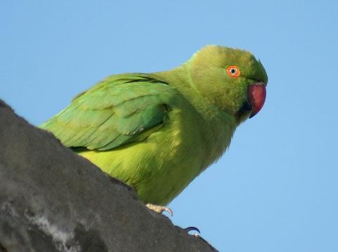 Photo of a parakeet